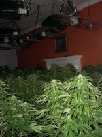 Cannabis plants being grown in a residential property